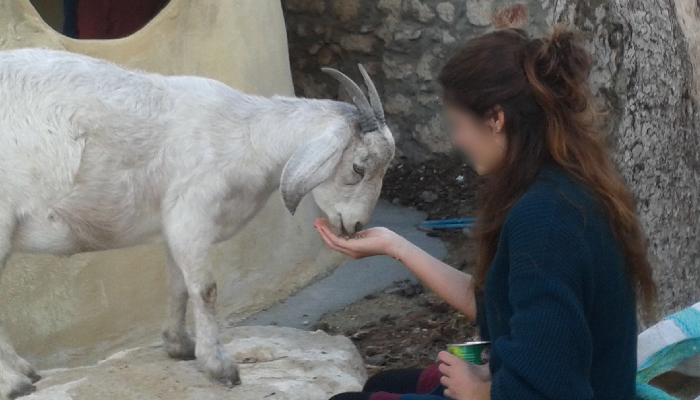 animal assisted therapy feeding goat